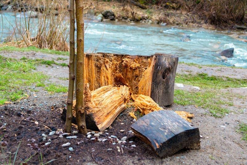 Μεγάλα ξύλινα κομμάτια που τεμαχίζονται μακριά ενός μεγάλου κούτσουρου δέντρων, δίπλα σε έναν λεπτό, νέο κορμό δέντρων, με ένα ρε στοκ εικόνα με δικαίωμα ελεύθερης χρήσης