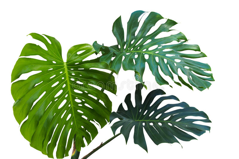 Μεγάλα πράσινα φύλλα του monstera ή του διάσπαση-φύλλου philodendron Monst στοκ εικόνες