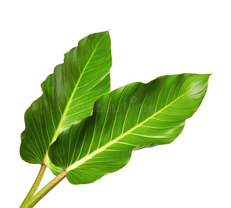 Μεγάλα φύλλα του κρίνου Spathiphyllum ή ειρήνης, τροπικό φύλλωμα που απομονώνεται στο άσπρο υπόβαθρο, με το ψαλίδισμα της πορείας στοκ φωτογραφία
