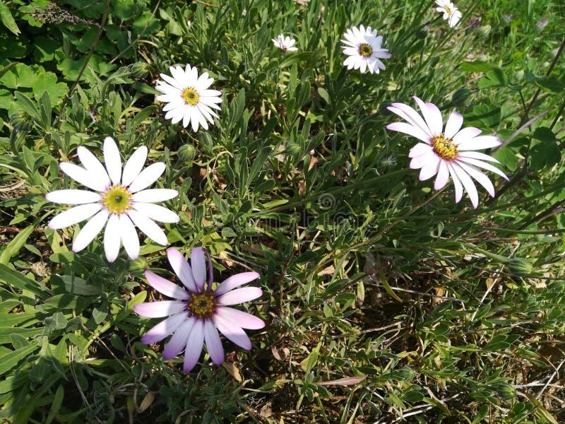 Μεγάλα daisys στοκ φωτογραφίες με δικαίωμα ελεύθερης χρήσης