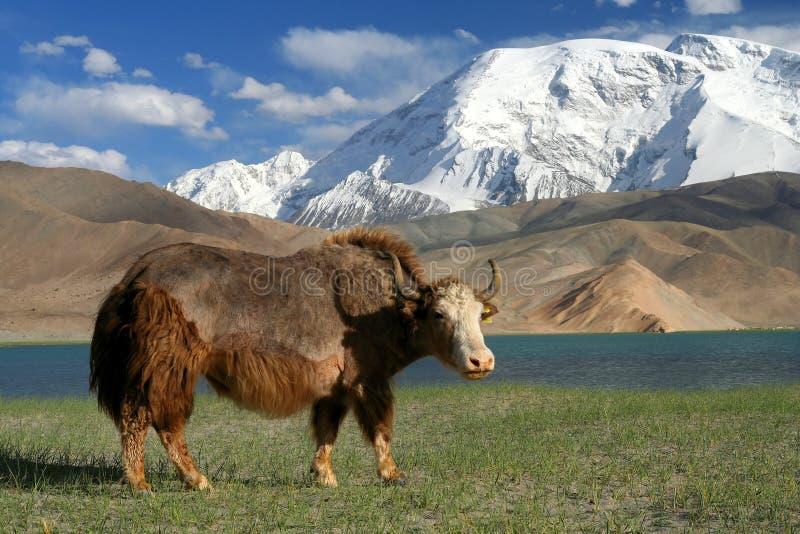μεγάλα yak στοκ εικόνες με δικαίωμα ελεύθερης χρήσης