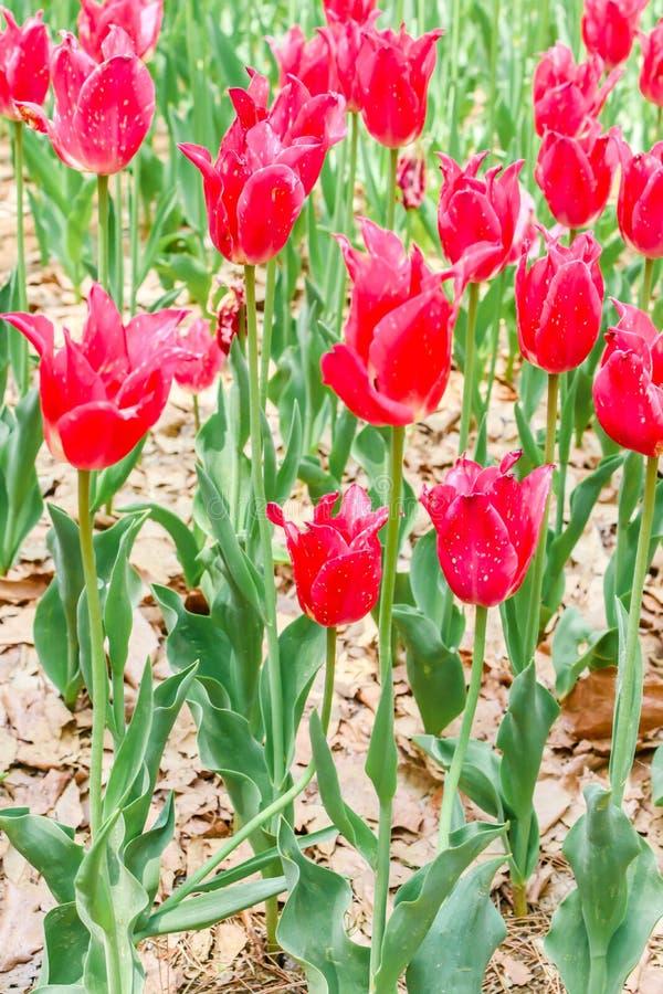 Μεγάλες κόκκινες τουλίπες ομάδας στο πάρκο παραλιών hitachi στοκ εικόνες