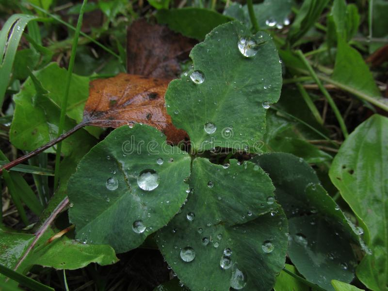 Μεγάλες πτώσεις της δροσιάς στη χλόη στοκ εικόνα