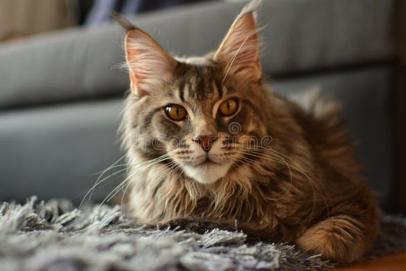 Μεγάλη γκριζόλευκη γάτα Maine coon στοκ εικόνα