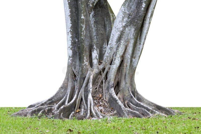Μεγάλη διάδοση ριζών δέντρων έξω όμορφη και κορμός που απομονώνεται στο whi στοκ φωτογραφίες με δικαίωμα ελεύθερης χρήσης