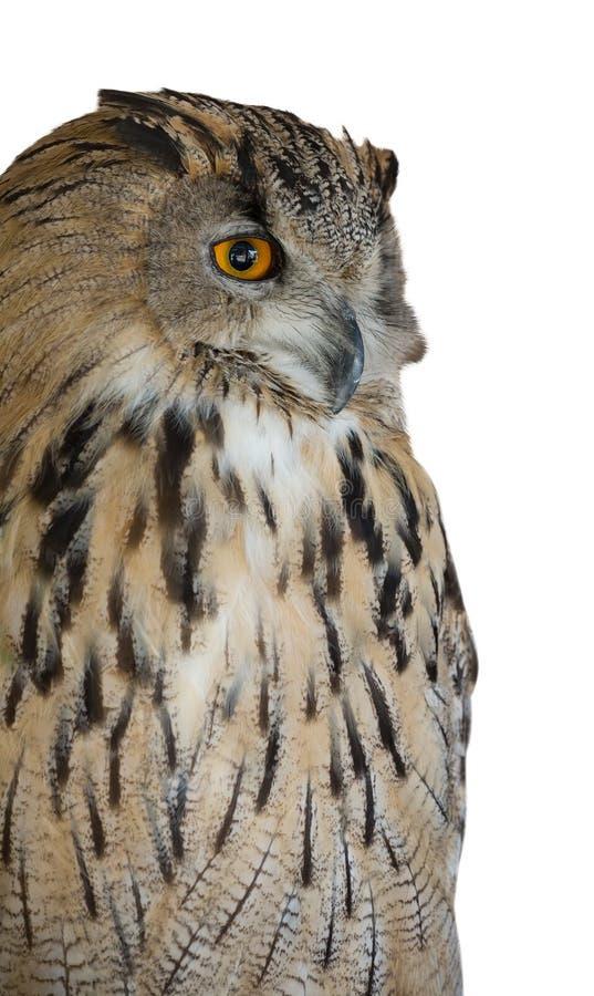 Μεγάλη καφετιά αετός-κουκουβάγια που απομονώνεται στο λευκό στοκ εικόνες