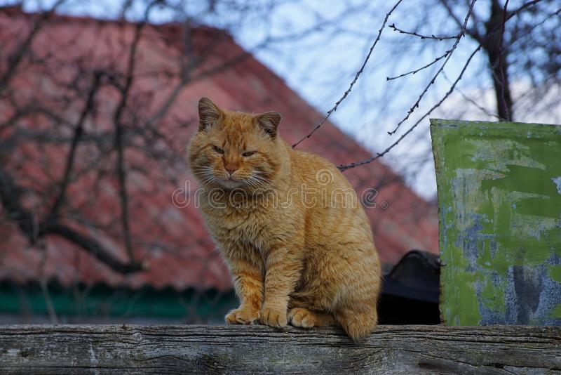 Μεγάλη κόκκινη συνεδρίαση γατών σε έναν ξύλινο φράκτη στοκ εικόνες