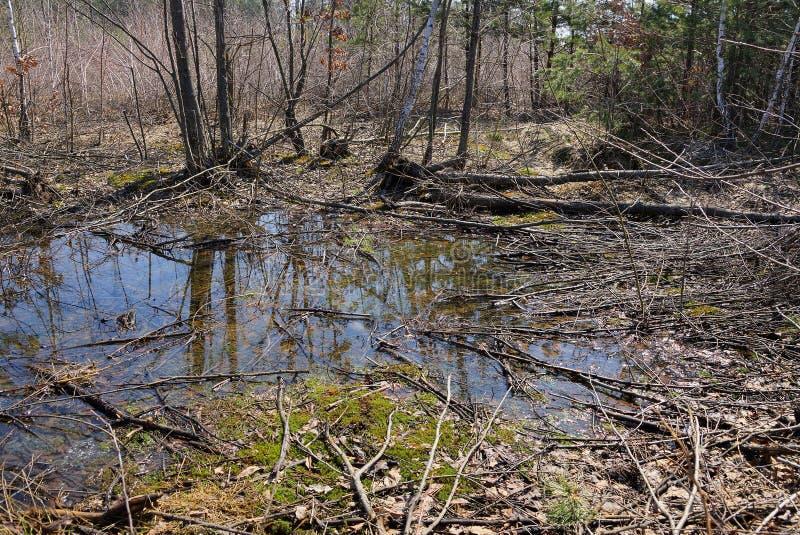 Μεγάλη λακκούβα στη μέση της πράσινων ξηρών βλάστησης βρύου και του δάσους δέντρων την άνοιξη στοκ φωτογραφία