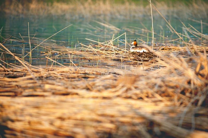 Μεγάλη λοφιοφόρη συνεδρίαση grebe στο cristatus Podiceps φωλιών Φωτογραφία άγριας φύσης με το θολωμένο υπόβαθρο στοκ εικόνα