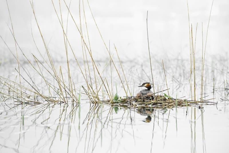 Μεγάλη λοφιοφόρη συνεδρίαση grebe στο cristatus Podiceps φωλιών Φωτογραφία άγριας φύσης με το θολωμένο υπόβαθρο στοκ φωτογραφίες με δικαίωμα ελεύθερης χρήσης