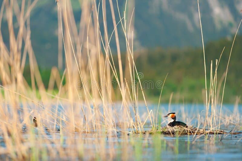 Μεγάλη λοφιοφόρη συνεδρίαση grebe στο cristatus Podiceps φωλιών Φωτογραφία άγριας φύσης με τα θολωμένα βουνά στο υπόβαθρο στοκ εικόνες με δικαίωμα ελεύθερης χρήσης