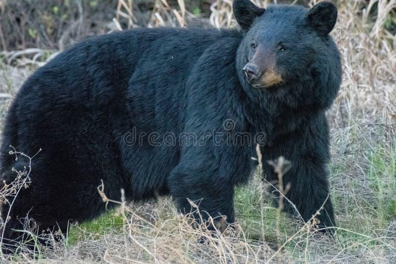 Μεγάλη μαύρη αρκούδα στοκ εικόνες με δικαίωμα ελεύθερης χρήσης