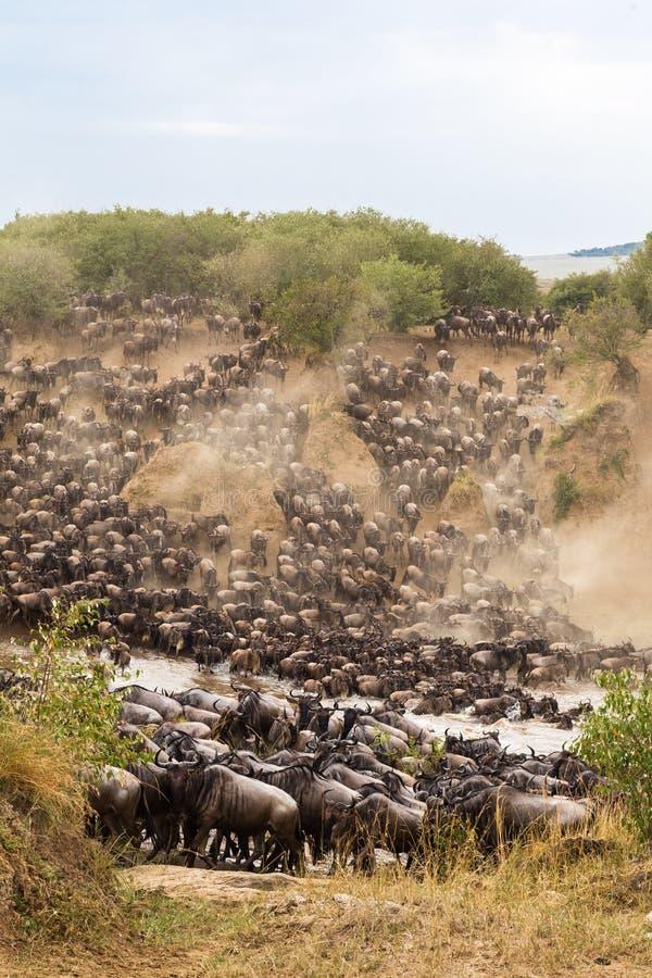 Μεγάλη μετανάστευση στην Αφρική Τα τεράστια κοπάδια των herbivores διασχίζουν τον ποταμό masai της Κένυας mara στοκ εικόνες με δικαίωμα ελεύθερης χρήσης