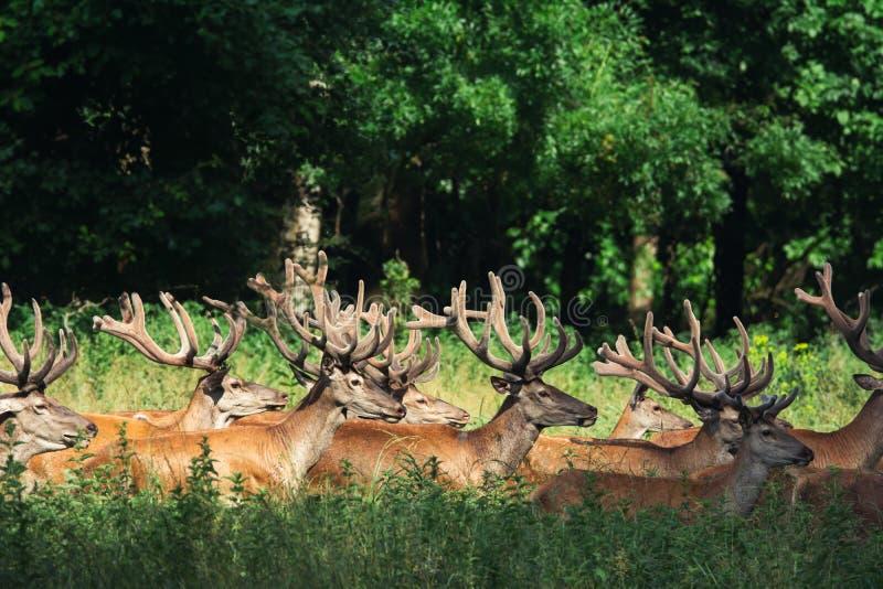 Μεγάλη ομάδα κόκκινων deers και hinds περπατήματος στη δασική άγρια φύση στο φυσικό βιότοπο στοκ φωτογραφία
