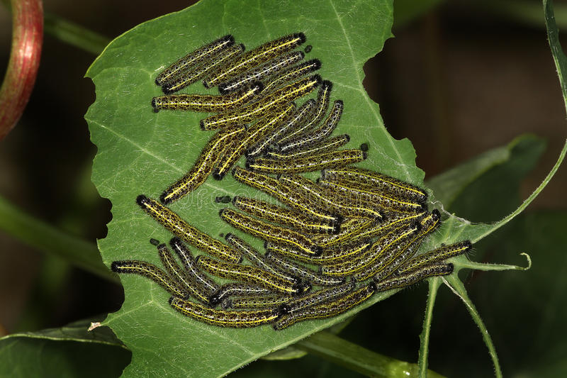 Μεγάλη ομάδα μεγάλων άσπρων καμπιών πεταλούδων. στοκ φωτογραφίες