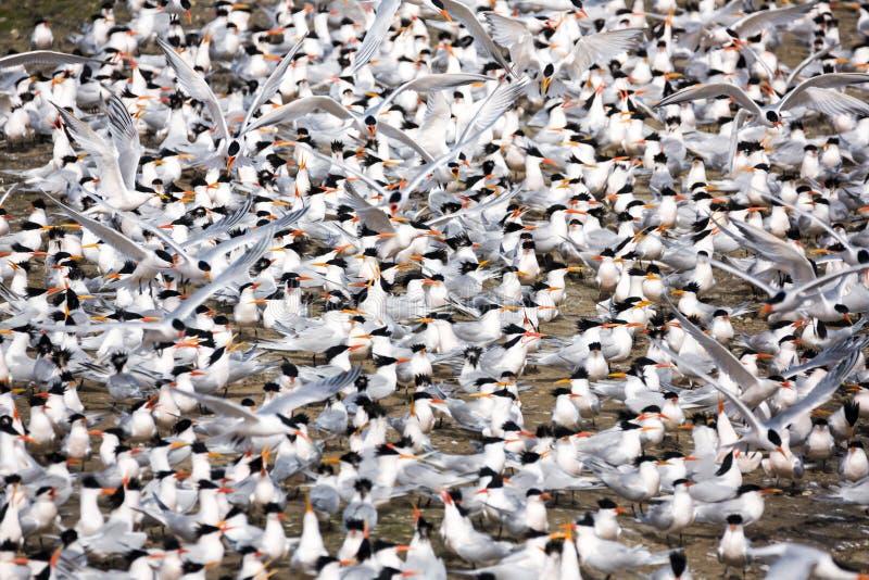 Μεγάλη ομάδα στερνών που ψάχνει τους συντρόφους κατά τη διάρκεια της εποχής αναπαραγωγής στοκ φωτογραφία με δικαίωμα ελεύθερης χρήσης
