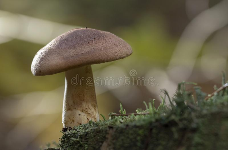 Μεγάλη ομάδα Tricholoma imbricatum, ή ματ μανιτάρια ιπποτών στοκ φωτογραφίες με δικαίωμα ελεύθερης χρήσης