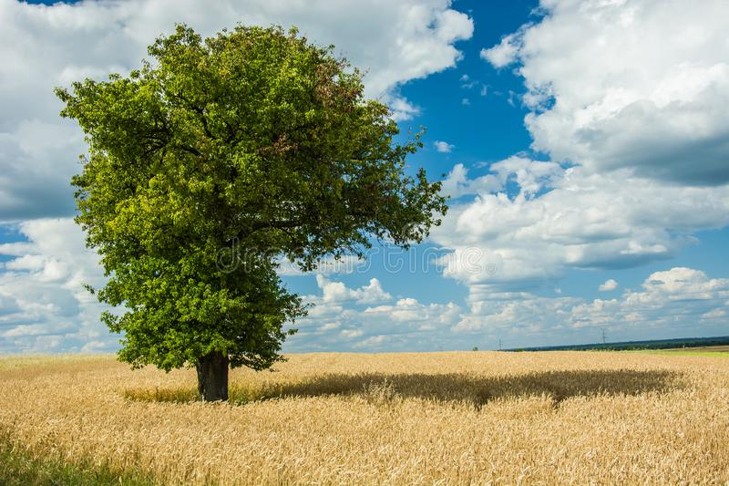 Μεγάλη πράσινη φυλλώδης ανάπτυξη δέντρων στο σιτάρι στοκ φωτογραφία με δικαίωμα ελεύθερης χρήσης