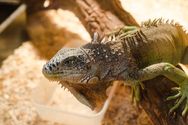 Μεγάλη σαύρα - πράσινη συνεδρίαση iguana ακίνητη σε ένα κλουβί σε ένα κατοικίδιο ζώο στοκ φωτογραφία