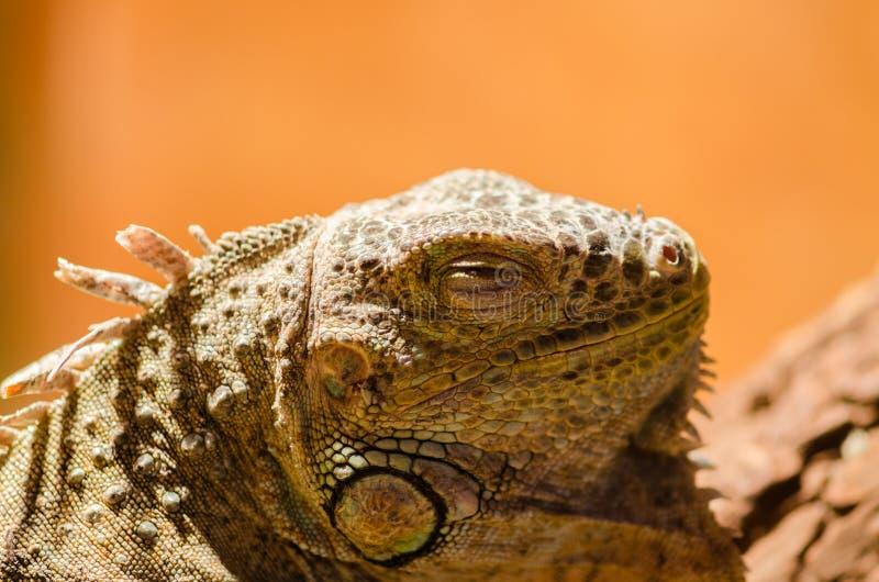 Μεγάλη σαύρα - πράσινη συνεδρίαση iguana ακίνητη στο Valera στο θόριο στοκ εικόνα με δικαίωμα ελεύθερης χρήσης