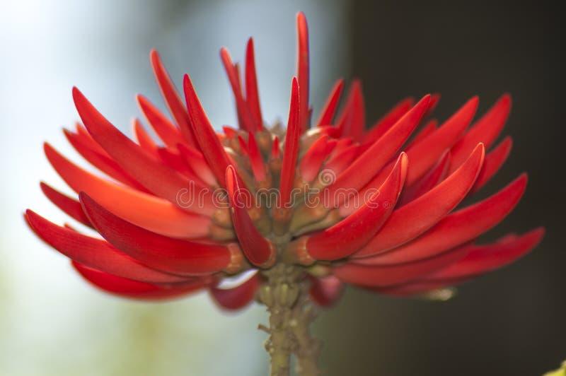 Μεγάλη φωτεινή κόκκινη νοτιοαφρικανική λεπτομέρεια λουλουδιών δέντρων κοραλλιών στοκ φωτογραφίες