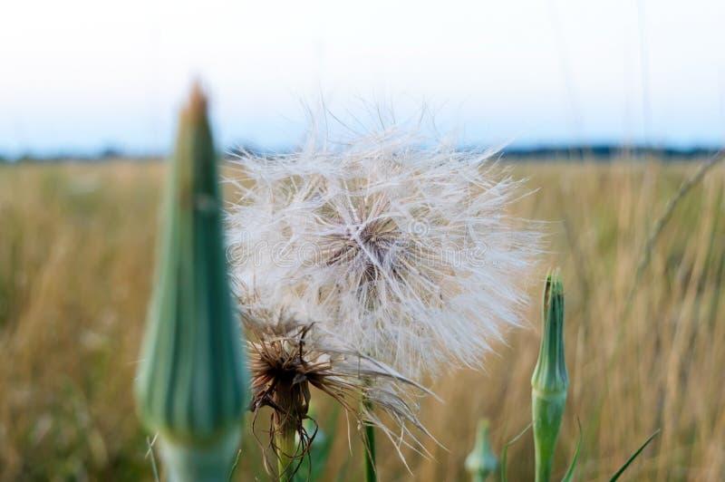 Μεγάλη όμορφη πικραλίδα στον τομέα Θερινά wildflowers στοκ εικόνες
