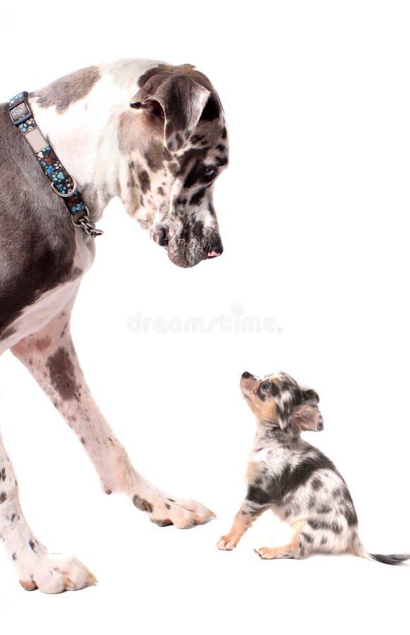 Μεγάλοι Δανός και σκυλιά chihuahua στοκ φωτογραφίες