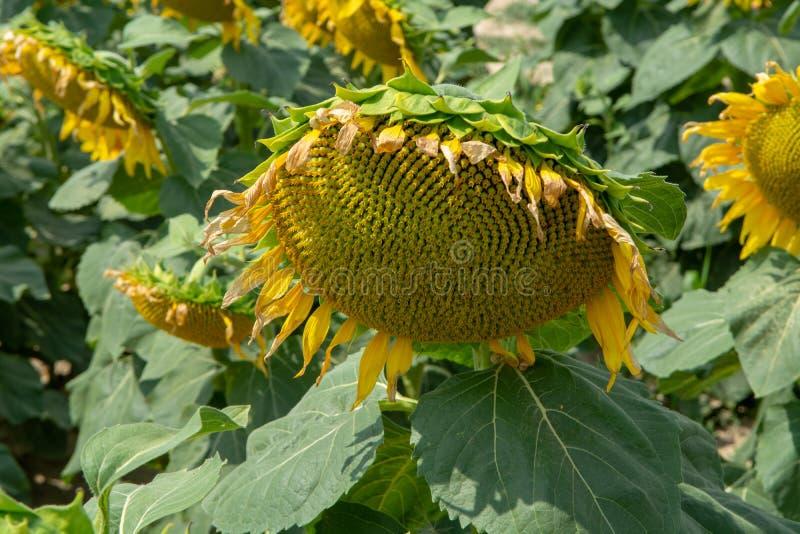 Μεγάλοι κίτρινοι ηλίανθοι που αυξάνονται στον τομέα με τους ώριμους μαύρους σπόρους στοκ εικόνα