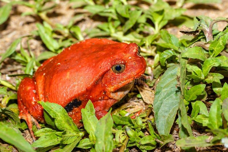 Μεγάλοι κόκκινοι βάτραχοι της ντομάτας, άγρια πανίδα της Μαδαγασκάρης στοκ εικόνα