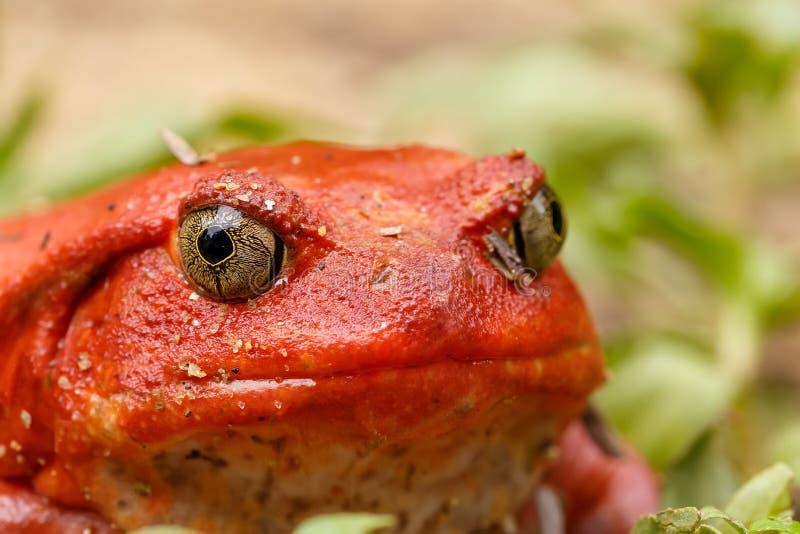 Μεγάλοι κόκκινοι βάτραχοι της ντομάτας, άγρια πανίδα της Μαδαγασκάρης στοκ φωτογραφίες με δικαίωμα ελεύθερης χρήσης
