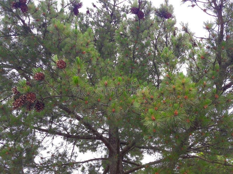 Μεγάλοι κώνοι πεύκων από ένα δέντρο πεύκων στοκ εικόνες