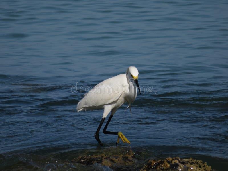 Μεγάλος άσπρος ερωδιός - Φλώριδα στοκ φωτογραφίες