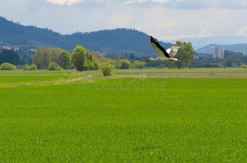 Μεγάλος άσπρος πελαργός που πετά χαμηλά πέρα από έναν πράσινο τομέα στοκ φωτογραφία