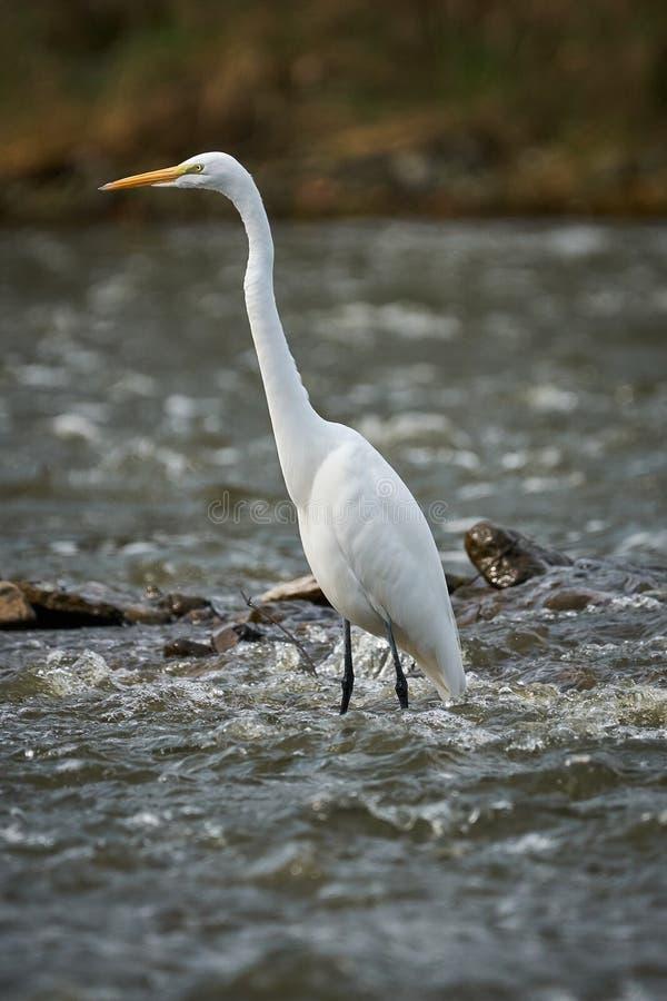 Μεγάλος άσπρος τσικνιάς που στέκεται στη μέση του ποταμού στοκ φωτογραφία