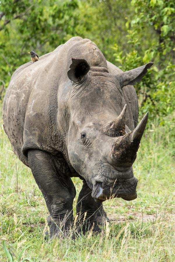 Μεγάλος αρσενικός ρινόκερος που στέκεται σε έναν τομέα στοκ φωτογραφία