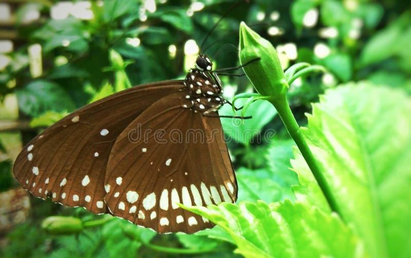 μεγάλος γλουτός ευτοπία πολυβολέας στο λουλούδι κλείνει το View στοκ εικόνα με δικαίωμα ελεύθερης χρήσης