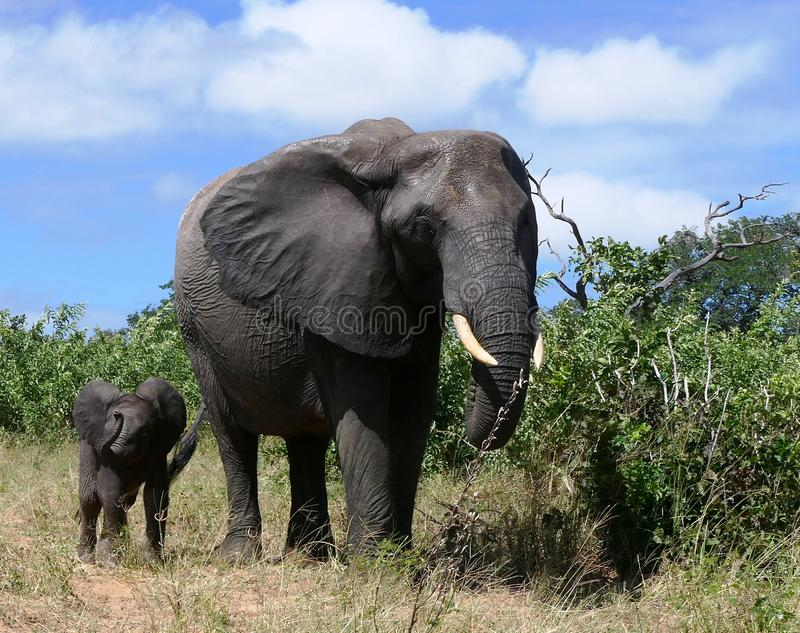 Μεγάλος ελέφαντας mom με την λίγο μωρό στοκ φωτογραφία με δικαίωμα ελεύθερης χρήσης