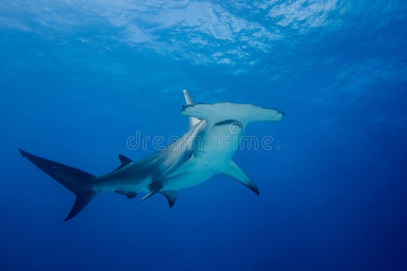Μεγάλος καρχαρίας Μπαχάμες Bimini hammerhead στοκ φωτογραφία με δικαίωμα ελεύθερης χρήσης