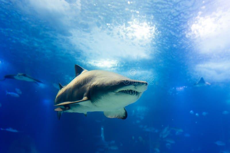 Μεγάλος καρχαρίας τιγρών στον αργό πλησιάζοντας τρόπο στοκ εικόνες με δικαίωμα ελεύθερης χρήσης
