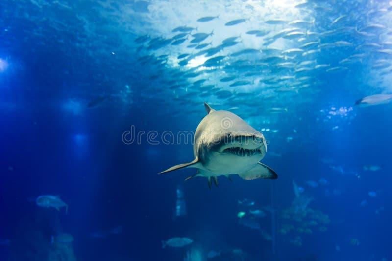 Μεγάλος καρχαρίας τιγρών στον αργό πλησιάζοντας τρόπο στοκ φωτογραφία
