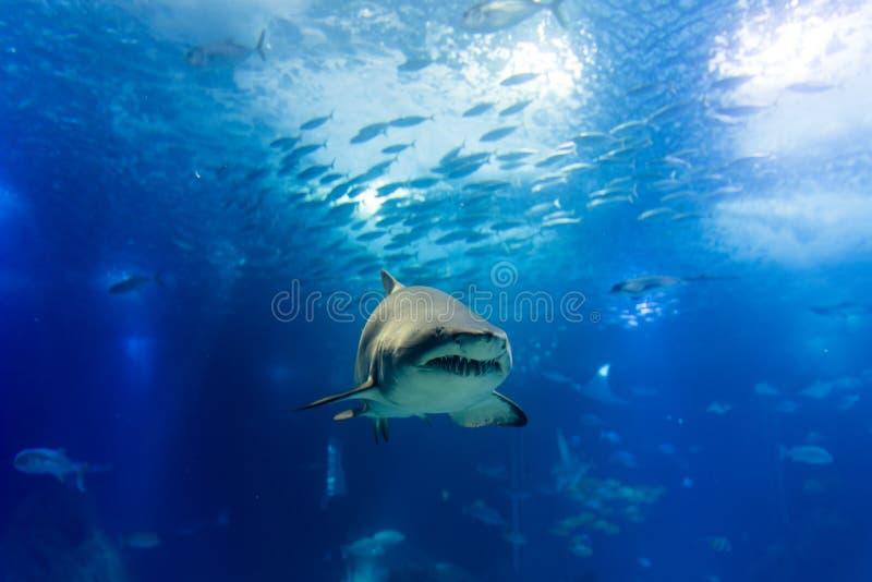 Μεγάλος καρχαρίας τιγρών στον αργό πλησιάζοντας τρόπο στοκ φωτογραφίες