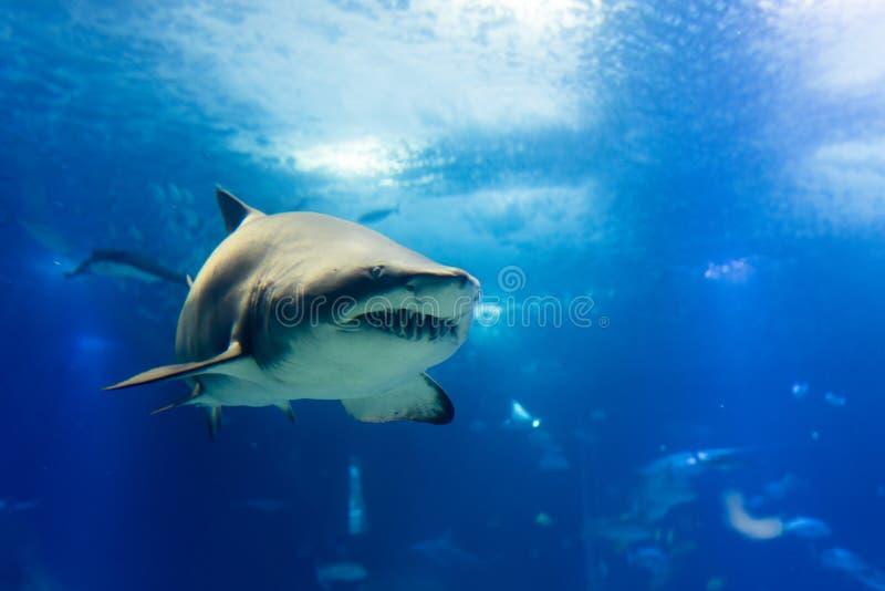 Μεγάλος καρχαρίας τιγρών στον αργό πλησιάζοντας τρόπο στοκ φωτογραφία με δικαίωμα ελεύθερης χρήσης