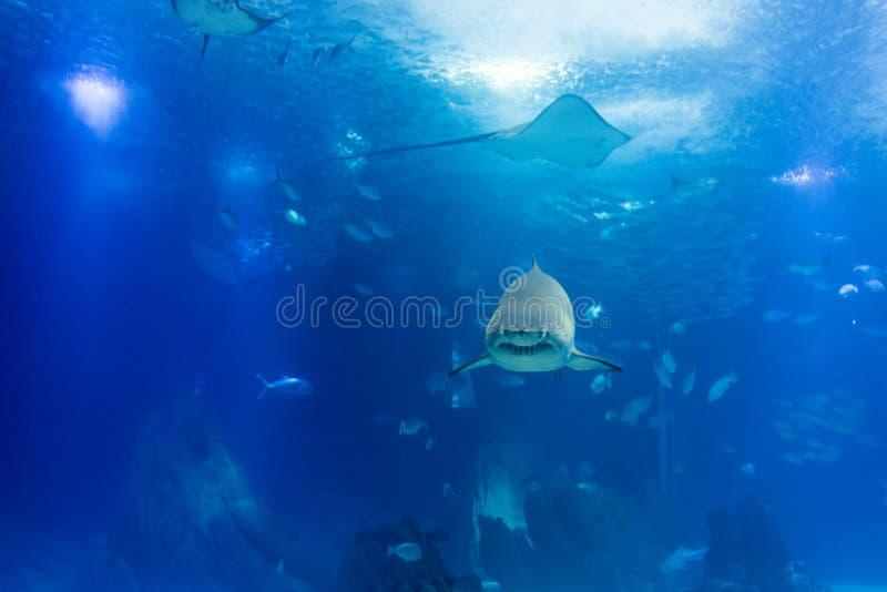 Μεγάλος καρχαρίας τιγρών στον αργό πλησιάζοντας τρόπο στοκ εικόνες