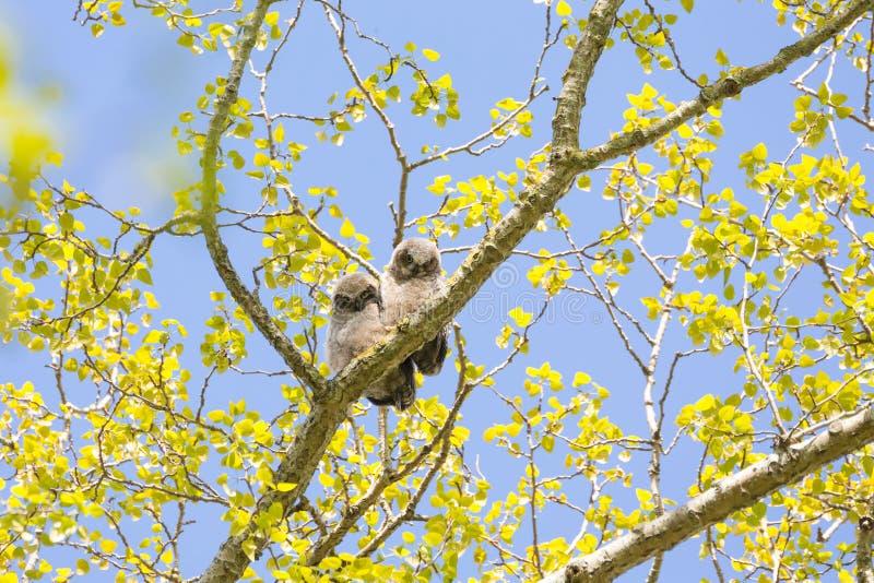 Μεγάλος κερασφόρος νεοσσός κουκουβαγιών στοκ φωτογραφία με δικαίωμα ελεύθερης χρήσης