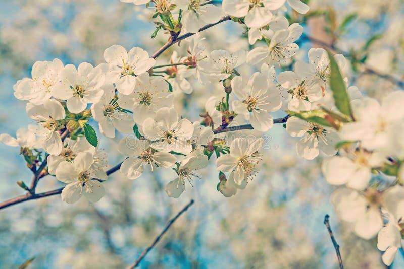 Μεγάλος κλάδος με τα ανθίζοντας λουλούδια του δέντρου κερασιών στη θολωμένη ΤΣΕ στοκ φωτογραφία με δικαίωμα ελεύθερης χρήσης