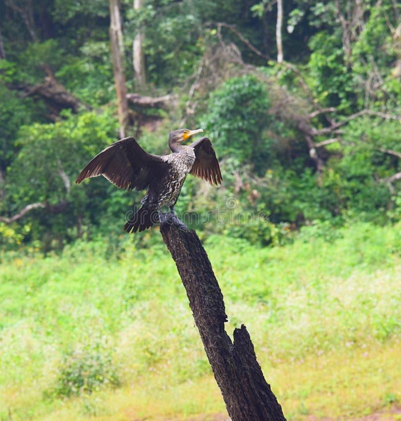 Μεγάλος κορμοράνος - Carbo Phalacrocorax - με τα φτερά στο εθνικό πάρκο Periyar, Κεράλα, Ινδία στοκ εικόνες με δικαίωμα ελεύθερης χρήσης