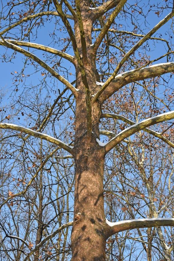Μεγάλος κορμός δέντρων το χειμώνα στοκ εικόνες