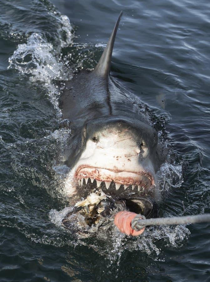 Μεγάλος λευκός καρχαρίας με ανοιχτό στόμα στην επιφάνεια από το νερό και δόλωμα Επιστημονική ονομασία: Καρχαρόδοντο καρχαριάς Νότ στοκ εικόνα με δικαίωμα ελεύθερης χρήσης