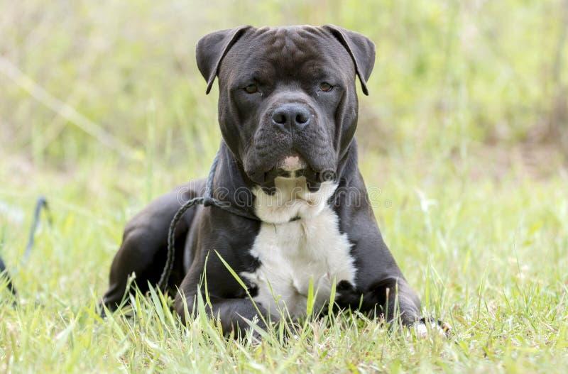 Μεγάλος μαύρος κάλαμος Corso και σκυλί μιγμάτων τεριέ Pitbull στοκ φωτογραφίες