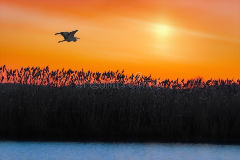 Μεγάλος μπλε ερωδιός που πετά πέρα από τη λίμνη στην ανατολή στοκ φωτογραφία με δικαίωμα ελεύθερης χρήσης